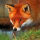 "Aka ""Red Fox"""